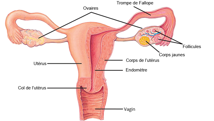 women_system_fr